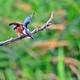 カワセミ♂ (若鳥)