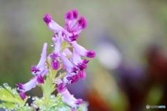 庭の花(ムラサキケマン)