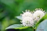 庭の花 (タニワタリの木)