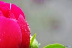 庭の花(シャクヤク)