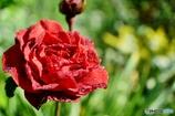 庭の花 (バラ)