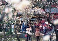 CONTAX RTSIIIで撮影した(梅の季節④)の写真(画像)