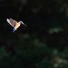 青い翼-2【カワセミ】