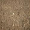 葦原を飛ぶ-Ⅱ【コミミズク】