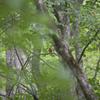 森の中で【アカショウビン】