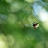 飛翔【カブトムシ】