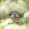 古木の洞にて-Ⅱ【フクロウ】