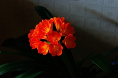 鉢植えの君子蘭