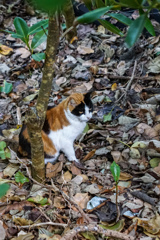 島の猫@竹富島