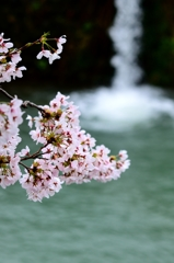 我が郷土に桜あり4