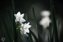 雪色に咲く