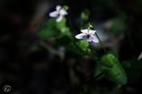 日陰とて 光射すとき なしとせず けなげに咲ける ツボスミレあり