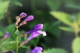 その名こそ 恐ろしげなる 花なれど 愛しかるべし ラショウモンカズラ