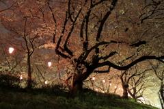 輝く桜の帰り道
