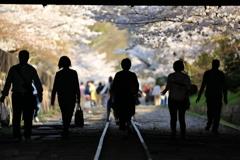 レールに導かれ光射す桜の世界へと