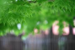 格子と青紅葉のある風景