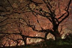 輝く桜の径を歩く