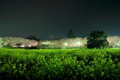 菜の花と桜堤