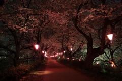 権現堂桜堤の小路に連なる桜色の提灯の灯り
