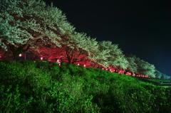 ピンクに染まる権現堂桜堤