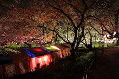権現堂桜堤の夜は静かに更け往く