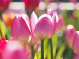 真冬に咲くチューリップ