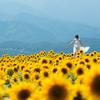 Sunflower-太陽の絨毯-