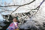 百花繚乱-知恩院の桜-
