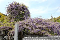 神光寺ののぼり藤