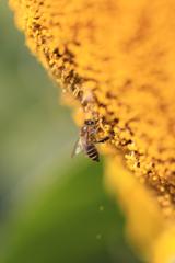 12月のミツバチ