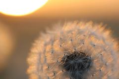夕陽と綿毛