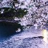 風になびく桜