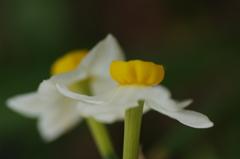 庭の花:スイセン