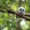 フクロウの赤ちゃん!