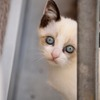 ポインテッド猫