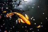 春と鯉 Ⅱ
