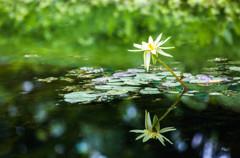 温室に咲く睡蓮