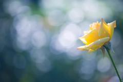 『君は薔薇より美しい』