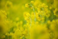 『黄色に染まる』