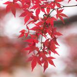 紅色に魅せられて。
