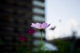 街に咲くコスモス Ⅰ