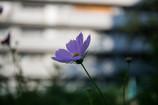 街に咲くコスモス Ⅱ