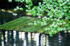 『竹筏に降る青もみじ』