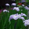 雨に負けぬ花