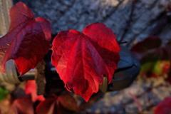 小樽堺町通りで見た紅葉