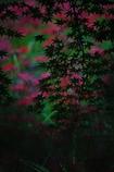 色づく楓に想い馳せ