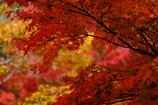 幸せ色の紅葉