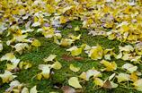 小松寺の秋は黄色と緑のコントラストから始まる