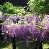 春日大社 植物園の藤棚