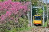 Amygdalus persica and Railway...Standard